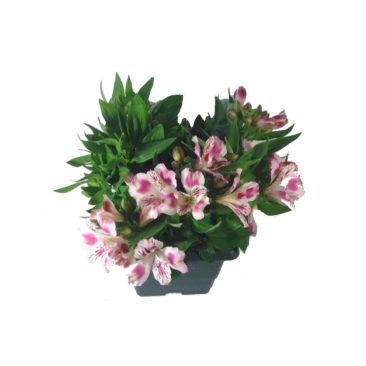 composition-été-entretien-fleurissement-sépultures-souvenir-fleuri-alstroméria