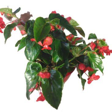 composition-été-entretien-fleurissement-sépultures-souvenir-fleuri-bégonia-dragon