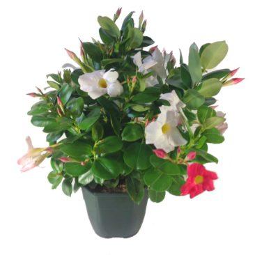 composition-été-entretien-fleurissement-sépultures-souvenir-fleuri-dipladénia