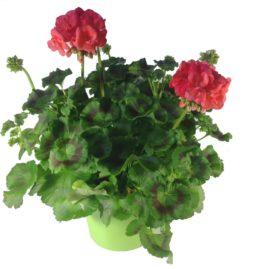 composition-été-entretien-fleurissement-sépultures-souvenir-fleuri-géranium