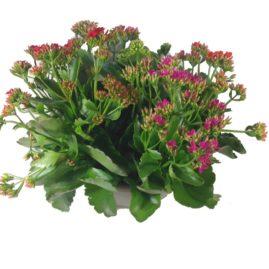 composition-été-entretien-fleurissement-sépultures-souvenir-fleuri-kalanchoe-tricolore