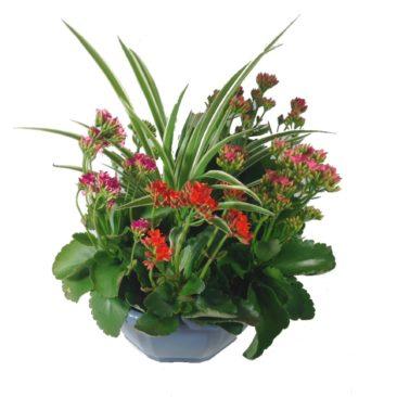 composition-été-entretien-fleurissement-sépultures-souvenir-fleuri-kalanchoe-tricolore-chlorophytum