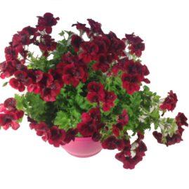 composition-été-entretien-fleurissement-sépultures-souvenir-fleuri-pelargonium