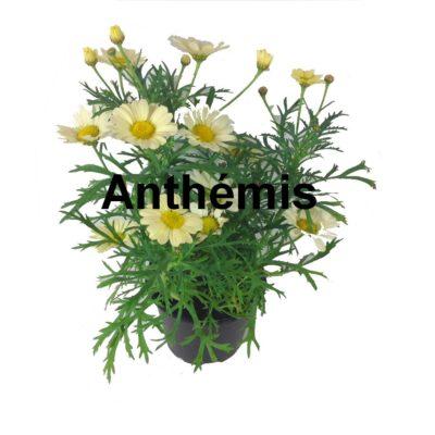 Anthémis pot