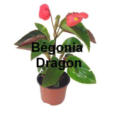 Bégonia Dragon pot