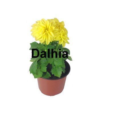 Dalhia pot 1