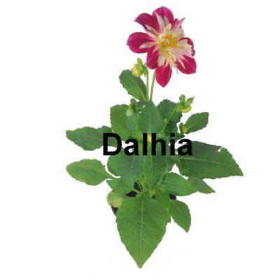 Dalhia pot 2