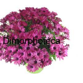 composition-été-entretien-fleurissement-sépultures-souvenir-fleuri-Dimorphotéca