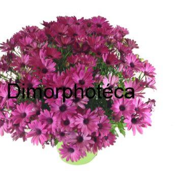Dimorphotéca