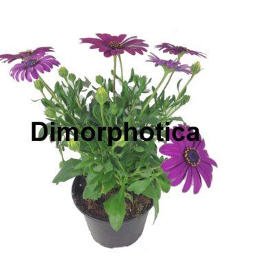 Dimorphotica pot