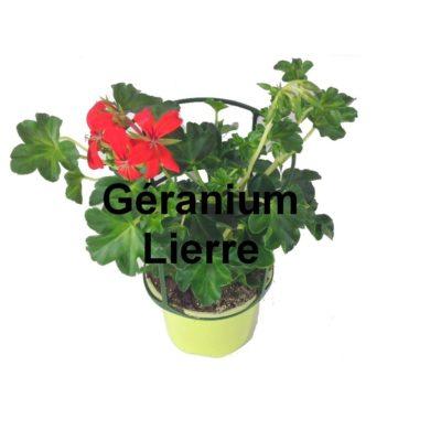Géranium lierre pot