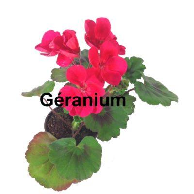 Géranium pot