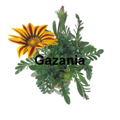 Gazania pot 2