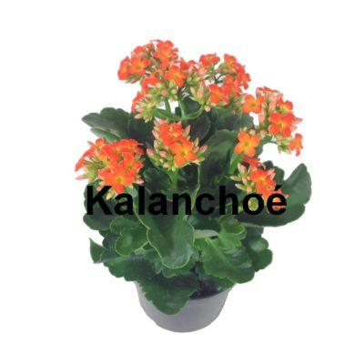 Kalanchoe pot