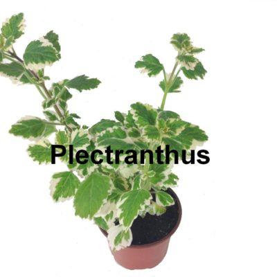 Plectranthus pot