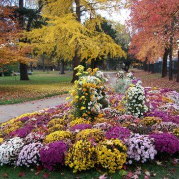 Pourquoi les chrysanthèmes à la Toussaint ?
